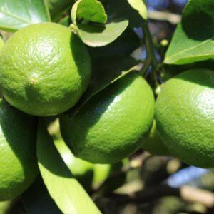 Limão Taiti Orgânico 1Kg